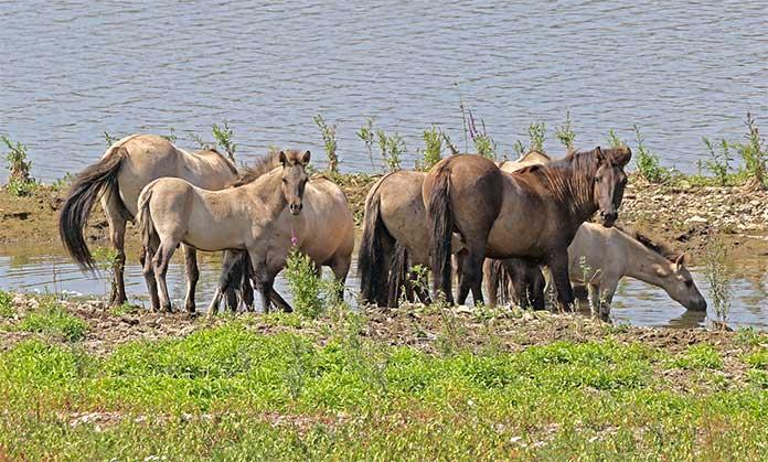 Konikpaarden Grensmaas